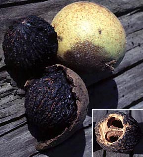 Juglans_fruit